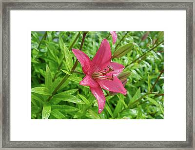 Pink Lily Flowers By Tamara Sushko  Framed Print