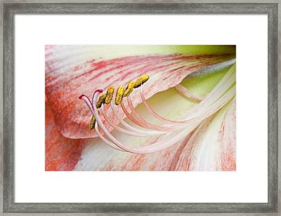 Framed Print featuring the photograph Pink Lily Macro by Ken Barrett