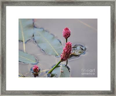 Pink Lily Pad Framed Print