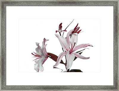 Pink Lily Framed Print by Peter Dorrell