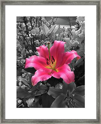 Pink Lily With Black And White Background Framed Print