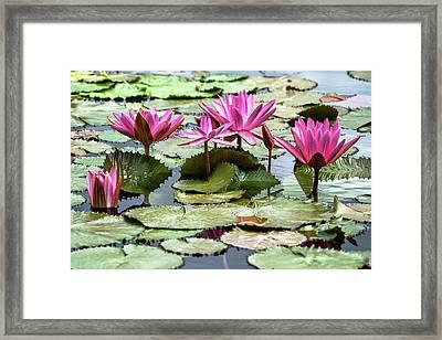 Pink Lotus Blossoms Framed Print