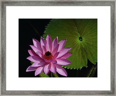 Pink Lotus Framed Print by Evelyn Tambour