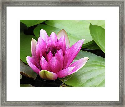 Framed Print featuring the photograph Pink Lotus Flower by Betty Denise