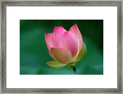 Pink Lotus Flower Framed Print by David Gunter - Jackson TN
