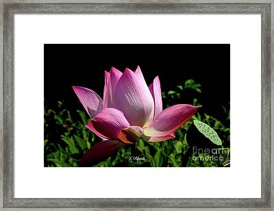 Pink Lotus  Framed Print by Jeannie Rhode