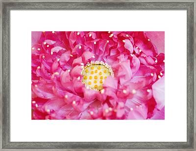 Pink Lotus Framed Print
