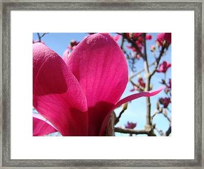 Pink Magnolia Flowers Magnolia Tree Spring Art Framed Print by Baslee Troutman