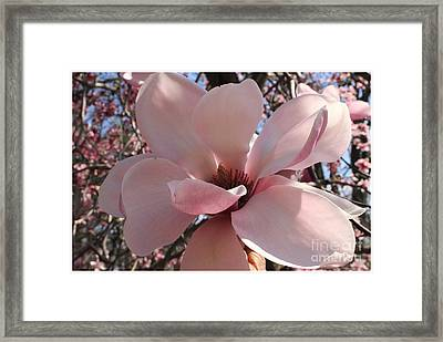 Pink Magnolia In Full Bloom Framed Print by Dora Sofia Caputo Photographic Art and Design