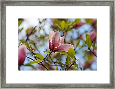 Pink Magnolia Framed Print by Katherine White
