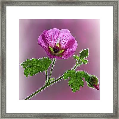 Pink Mallow Flower Framed Print