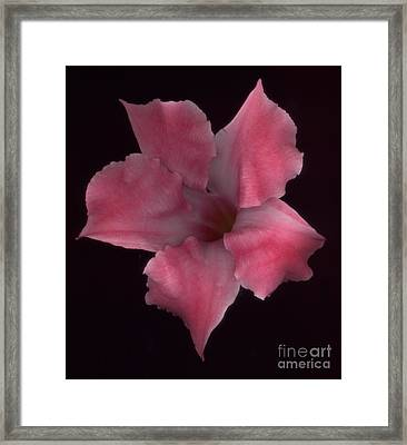 Pink Mandeville On Black Framed Print