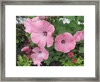Pink Mandevilles Framed Print