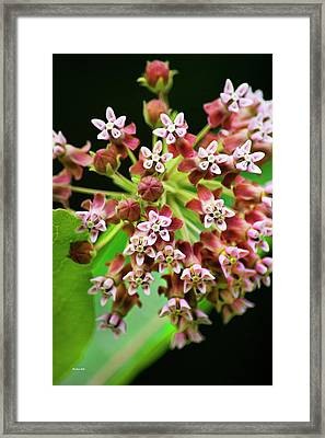 Pink Milkweed Flowers Framed Print by Christina Rollo