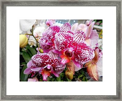 Pink Moth Orchids Framed Print