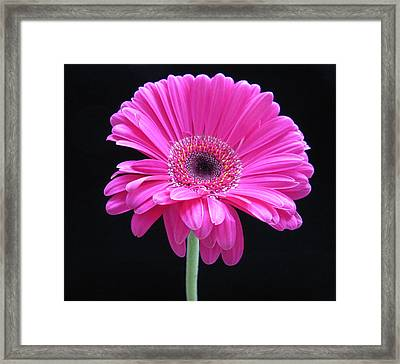 Framed Print featuring the photograph Pink On Black by Patricia Januszkiewicz