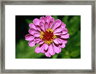 Pink Or Lavendar Framed Print