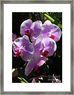 Pink Orchids In Sunlight Framed Print