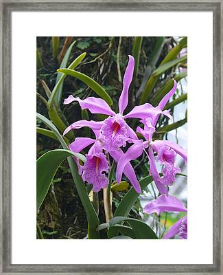 Pink Orchids Framed Print by Jeanne  Woods