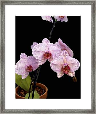 Pink Orchids Framed Print by Kurt Van Wagner