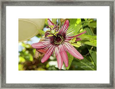 Pink Passiflora Framed Print