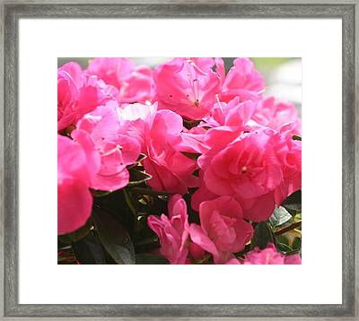 Pink Passion Framed Print by Amy Holmes