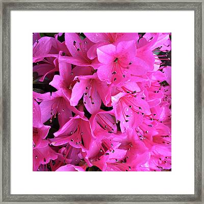 Framed Print featuring the photograph Pink Passion In The Rain by Sherry Hallemeier