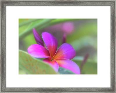 Pink Peekaboo Plumeria Framed Print