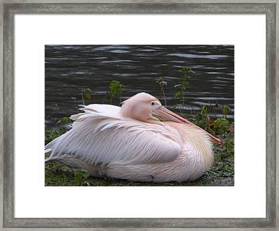 Pink Pelican Framed Print by Margaret Brooks
