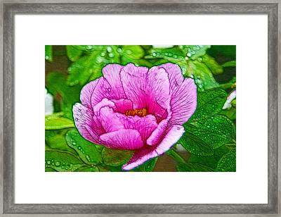 Pink Peony 1 Framed Print by Lanjee Chee