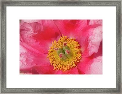 Pink Peony Flower Fine Art  Framed Print by James BO  Insogna