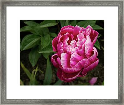 Framed Print featuring the photograph Pink Peony by Jean Noren
