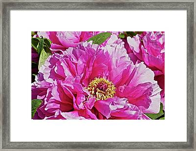 Pink Peony Framed Print by Joan Reese