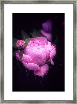 Pink Peony Framed Print by Philippe Sainte-Laudy