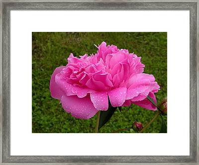 Pink Peony Framed Print by Raju Alagawadi