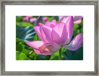 Framed Print featuring the photograph Pink Petals by Cindy Lark Hartman