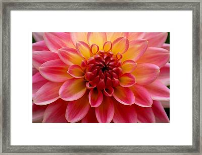 Pink Petals Framed Print by Sonja Anderson