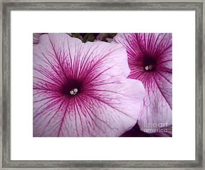 Pink Petunias Framed Print by Sonya Chalmers