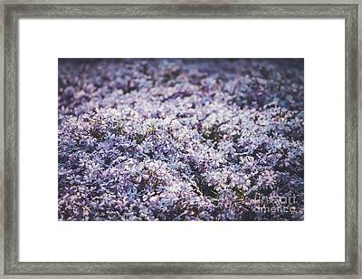 Pink Phlox Blanket-close Up Framed Print by Claudia M Photography