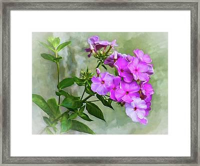 Pink Phlox - Paint Framed Print by Steve Harrington