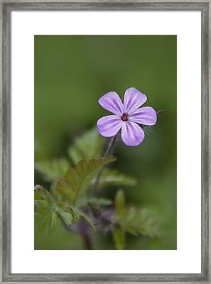 Framed Print featuring the photograph Pink Phlox Wildflower by Ken Barrett