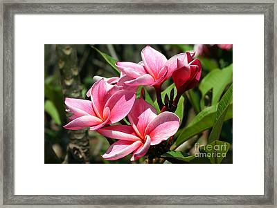 Pink Plumeria Framed Print