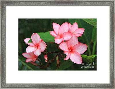 Framed Print featuring the photograph Pink Plumerias by Edward R Wisell