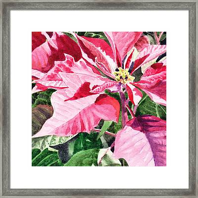 Pink Poinsettia Plant Framed Print
