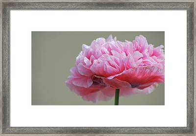 Framed Print featuring the photograph Pink Poppy by Amee Cave