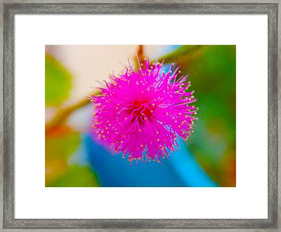 Pink Puff Flower Framed Print by Samantha Thome