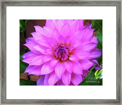 Framed Print featuring the photograph Pink Purple Dahlia Flower by Kristen Fox