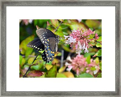 Pink Queen Framed Print by JAMART Photography