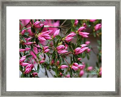 Pink Rainy Azaleas Framed Print