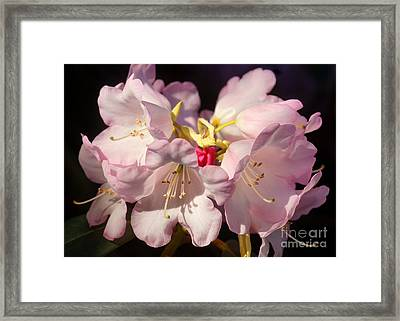 Pink Rhododendron 1 Framed Print